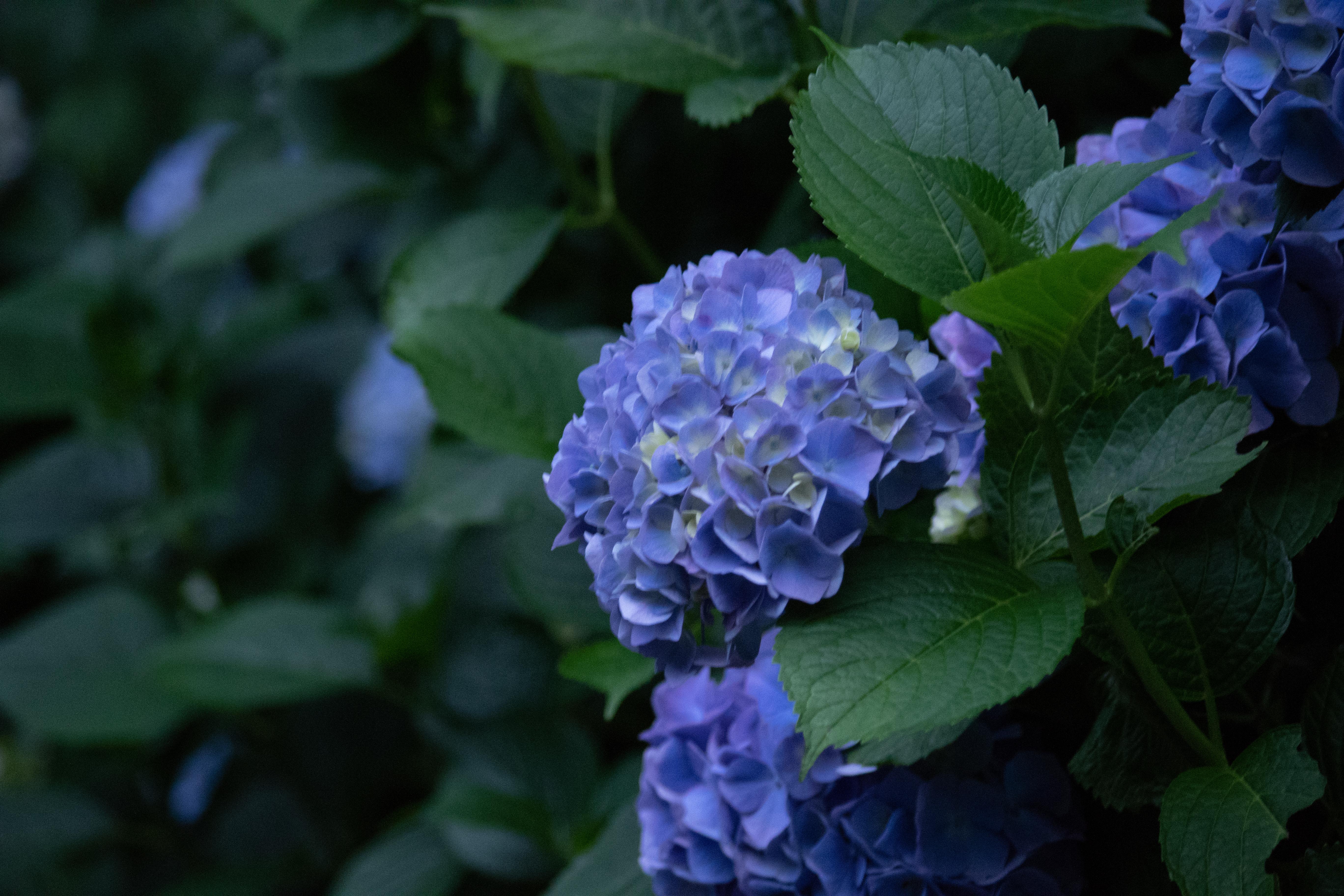 卯辰山花菖蒲園で紫陽花が見頃